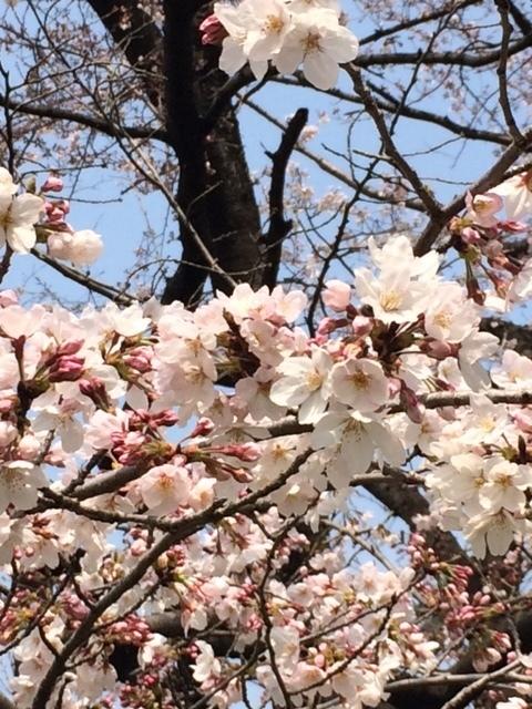 桜160320-2.jpg
