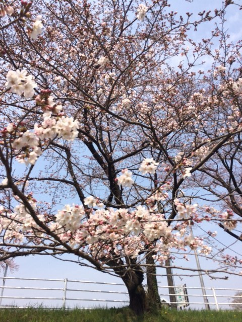 桜160320.jpg
